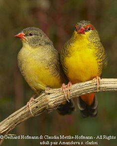 Yellowish breast red cardinal