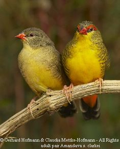 Female and Male Gold-Breasted Waxbills - From Africa south of the Sahara