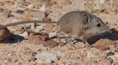 A découvrir : la plus petite musaraigne à trompe du monde
