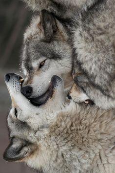 Wolf Makeout (by Kiddruba) Beautiful Wolves, Animals Beautiful, Cute Animals, Wolf Pictures, Animal Pictures, Tier Wolf, Wolf World, Wolf Spirit Animal, Wolf Love