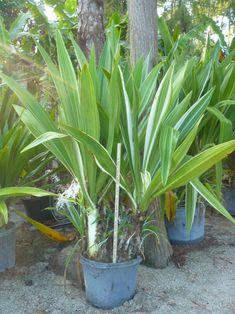Crinum asiaticum 'Variegatum' (2)