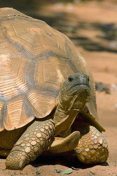 Plough share tortoise!