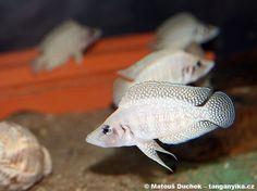 "Altolamprologus calvus ""white chaitika"""