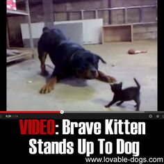 VIDEO: Brave Kitten Stands Up To Dog►►http://lovable-dogs.com/video-brave-kitten-stands-up-to-dog/?i=p