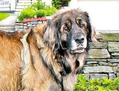 Show dog Nando was accidentally dragged behind an animal control vehicle.  No one thought that Nando would come out of his harrowing ordeal alive, much less return to the dog show competition circuit. But miraculously, the determined Leonberger made a full recovery. For the first time since last August, the regal champion entered the ring May 20 at the York County Kennel Club in Scarborough, Maine. Not only did Nando strut his stuff that day, he took home some of the competition's top…