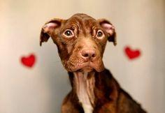 N.J. animal shelter seeking permanent custody of Patrick the pit bull