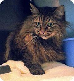 Prattville, AL - Domestic Longhair. Meet Lucy 21780, a cat for adoption. http://www.adoptapet.com/pet/12179136-prattville-alabama-cat