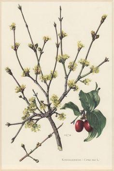 1960 Botanical Print Cornus mas Cornelian cherry by Craftissimo