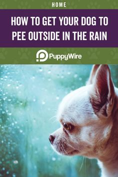 Does your dog refuse to go outside to potty when it's raining? Here are some tips and tricks to get your dog to pee and poop outside when it's raining. Taking Dog, Puppy Pads, Dog Pee, Walking In The Rain, Getting A Puppy, Rainy Weather, Litter Box, It's Raining, Training Your Dog