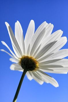 A bottom-up perspective of a daisy shot in a beautiful spring sunset