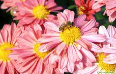 Pink daisy and a bee