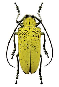 Chrysochroa fulgens - Google Search