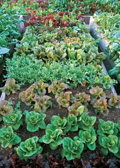 Grow Alternative Greens: Lettuces and more. Fantastic resource for urban…