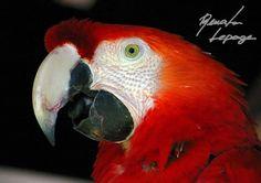 Pássaros do Brasil: arara vermelha