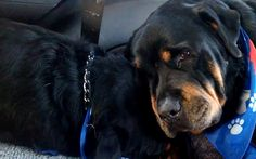 Brutus the Rottweiler appears to be truly heartbroken as he lays next to the   body of his brother Hank who had passed away in his sleep