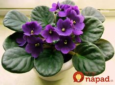The genus Saintpaulia, also known as African Violets are one of the world's most popular houseplants, and for good reason. These compact, lo Feng Shui Indoor Plants, Plants Indoor, Indoor Bonsai, Indoor Flowers, Violet Plant, Violet Garden, Pot Jardin, Saintpaulia, Decoration Plante