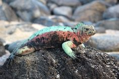 galapagos-xmas-iguana