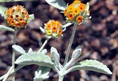 Buddleia marrubifolia Orange Woolly Butterfly Bush