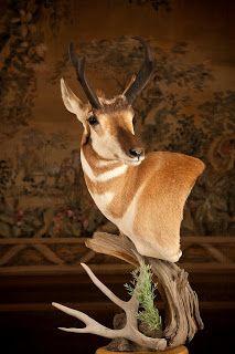 Antelope. Antelope Hunting, Taxidermy Display, Deer Mounts, Remodels And Restorations, Christmas Tree Farm, Man Room, Animal Games, Deer Antlers, Big Game