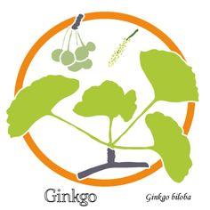 Ginkgo - plus de plaisir - uptimoi- Dessin de feuilles et fruits.