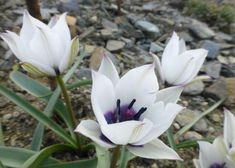 Tulipa humilis var. pulchella Alba Coerulea Oculata, 15cm, will naturalise in drained even dry soil in summer, March flowering. Plants, Image, Planters, Plant, Planting