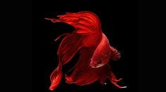 Pictures Betta Fish Download.