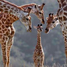 The giraffe family