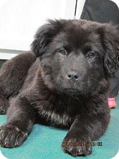 2/8/15 Brookside, NJ - Newfoundland/Labrador Retriever Mix. Meet Windsor, a puppy for adoption. http://www.adoptapet.com/pet/12391617-brookside-new-jersey-newfoundland-mix