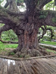 "The Treaty Oak is a field live oak (quercus virginiana) that is the oldest living thing in Jacksonville. It's called ""Treaty Oak"" because way back in the 1930's a journalist wrote a story claiming that a treaty between the native Floridians and the Spanish had been singed beneath it. This ""journalist"" made up the story to save the tree from a developers axe. It worked, for many years the story was believed."