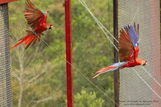 The Scarlet Macaw is Back in the Gulf of Mexico!