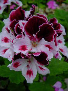 Geranium 'Georgia' Pelargonium