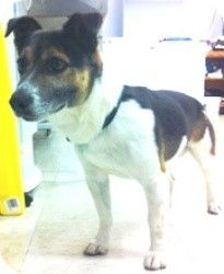 Brougham, ON - Jack Russell Terrier. Meet Humphrey, a dog for adoption. http://www.adoptapet.com/pet/11095714-brougham-ontario-jack-russell-terrier