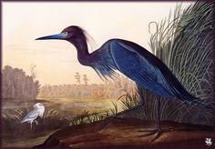 Blue Crane or Little Blue Heron, John James Audubon