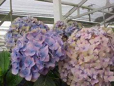 Sent 100 Stems of our Lavender Hydrangea to our Customer in Grand Rapids Mich. for her wedding this Sat.7-12-14...Here is her response... They are beautiful, hydrated easily and ready to be arranged in the morning! Thank you Jim! Sincerely ,Lynne Deptula