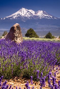 Mt Shasta Lavender Farm in California view from the north side looking south to Mount Shasta and Shastina Monte Shasta, Beautiful World, Beautiful Places, Amazing Places, Beautiful Scenery, All Nature, Belle Photo, Beautiful Landscapes, Beautiful Waterfalls
