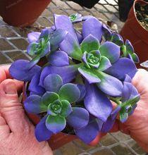 Na Venda!! 100 Africano Raro Sementes de Cactos Suculentas Mistos Azul Planta árvore Bonsai Purificar O Ar Resistente Ao Calor Cuidado Fácil Criativo