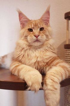 Described elsewhere as NFO, but this appears to be a Maine Coon