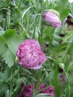 Poppies I have these at the lakehouse!!!