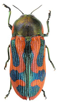 Castiarina cupida Kerremans, 1898 (Buprestidae)
