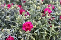 Dianthus 'Adorable' - Adorable by name and adorable by nature! Prefers well-drained soil in sun or partial shade. Height and spread 30-40cm. Hardy perennial. www.thepavilion.ie