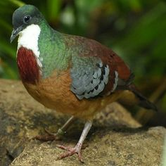Pictures of Pigeons and Doves: Mindanao Bleeding-Heart Exotic Birds, Colorful Birds, Pretty Birds, Beautiful Birds, Pigeon Breeds, Dove Pigeon, Dove Bird, Mindanao, Kinds Of Birds