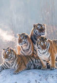 """Look Around (by Yotin Pilaisomboon)"""" Nature Animals, Animals And Pets, Cute Animals, Wildlife Nature, Wild Animals, Baby Animals, Tiger Pictures, Cute Animal Pictures, Beautiful Cats"""