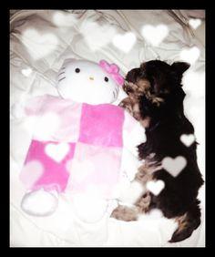 #yorkie #miniatureyorkie #yourkshireterrior #yorkshire #puppy #cute #dog #pet #animal #hellokitty