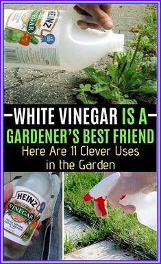 White Vinegar Is A Gardener�s Best Friend. Here Are 10 Clever Uses in The Garden Health And Fitness Tips, Health Advice, Wellness Tips, Health And Wellness, Health Care, Getting Rid Of Slugs, Ant Spray, Fruit Flies, Distilled White Vinegar
