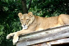 Sheba Lion | Carolina Tiger Rescue Lions, Panther, Cute Animals, Nature, Pretty Animals, Lion, Naturaleza, Panthers, Cutest Animals