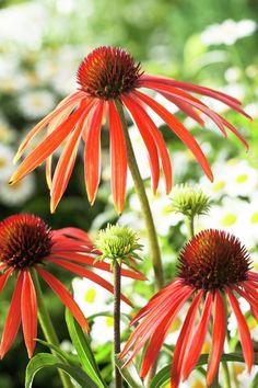 ~Coneflower 'Arts Pride' • Echinacea