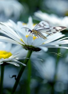 ~~Nature: Art of God ~ Butterfly and Daisy by Mohan Duwal~~