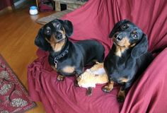Crusoe & Oakley's Weekend Adventures http://www.celebritydachshund.com/2014/06/17/a-tail-of-two-dachshund-brothers/