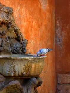 Pigeon drinking from a fountain. Rome, province of Rome, Lazio region italy