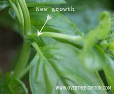 How to grow an abundant crop of basil to make delicious Pesto!